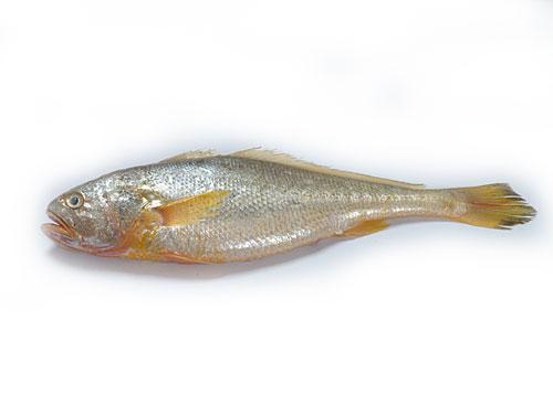 东海野生大黄鱼
